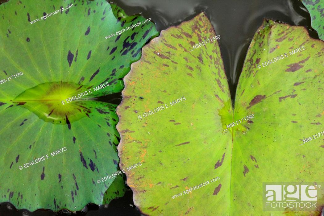 Stock Photo: Waterlily leaves close up, Topotepuy gardens, Caracas, Venezuela.