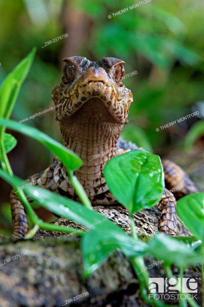Stock Photo: Paleosuchus palpebrosus. Young dwarf caiman in the forest. French Guiana.