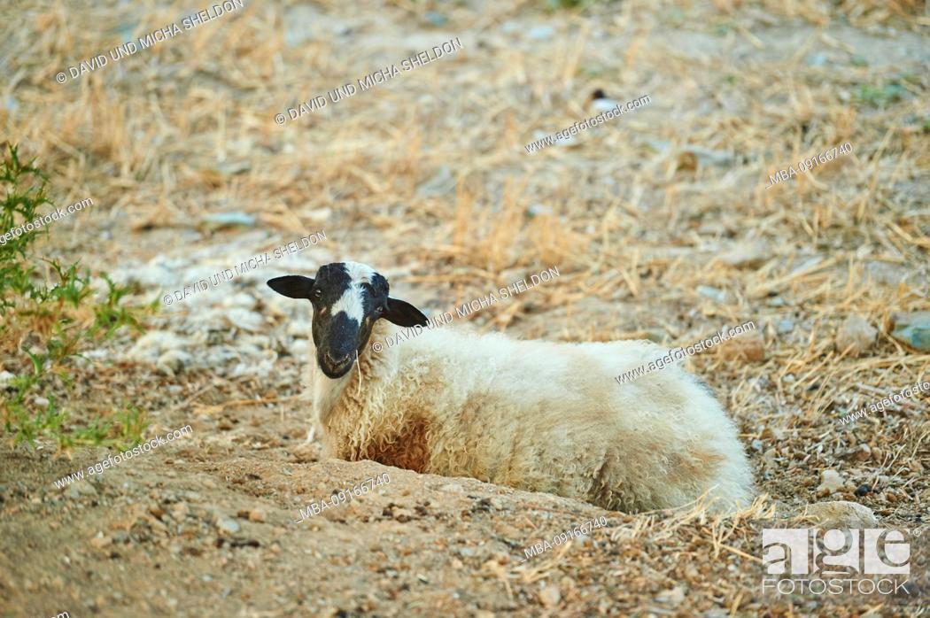 Stock Photo: Domestic sheep, Ovis orientalis aries, sideways, lying, summer, pasture, Crete, Greece.