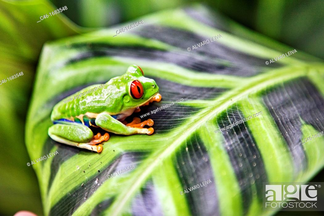 Stock Photo: Red eyed tree frog Agalychnis callidryas perched on a tree leaf  Tortuguero National park, Limon province, Costa Rica.