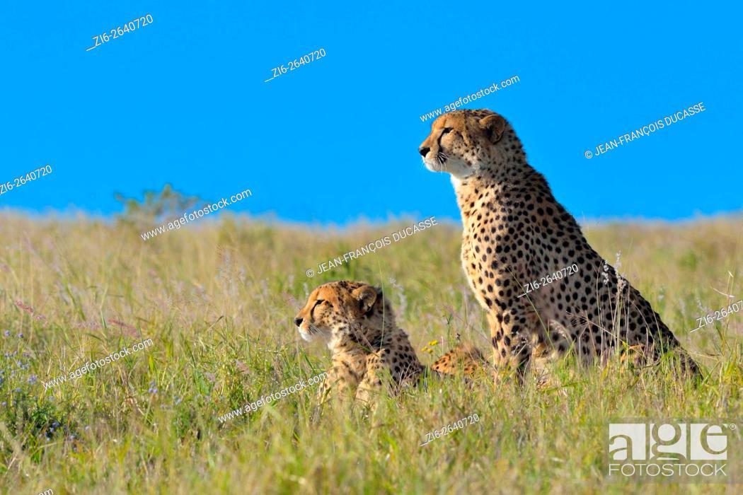 Cheetahs Acinonyx Jubatus In Tall Grass Watching The