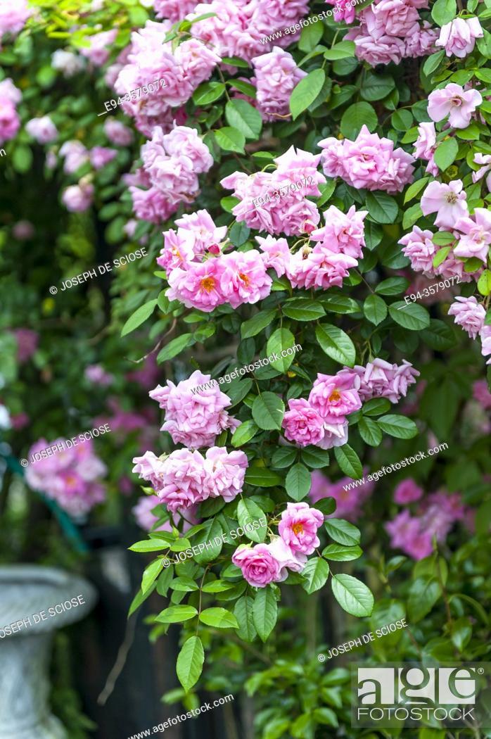 Photo de stock: Climbing rose in full bloom in a garden.