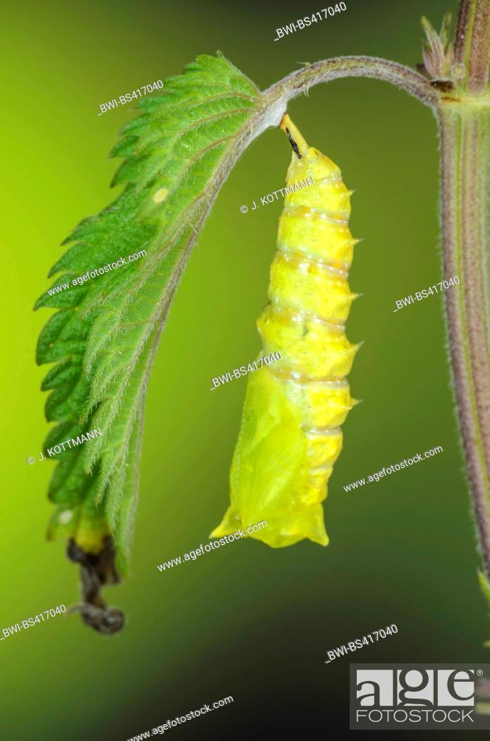 Stock Photo: Peacock butterfly, European Peacock (Inachis io, Nymphalis io), pupation, serial photo 9/9, Germany.