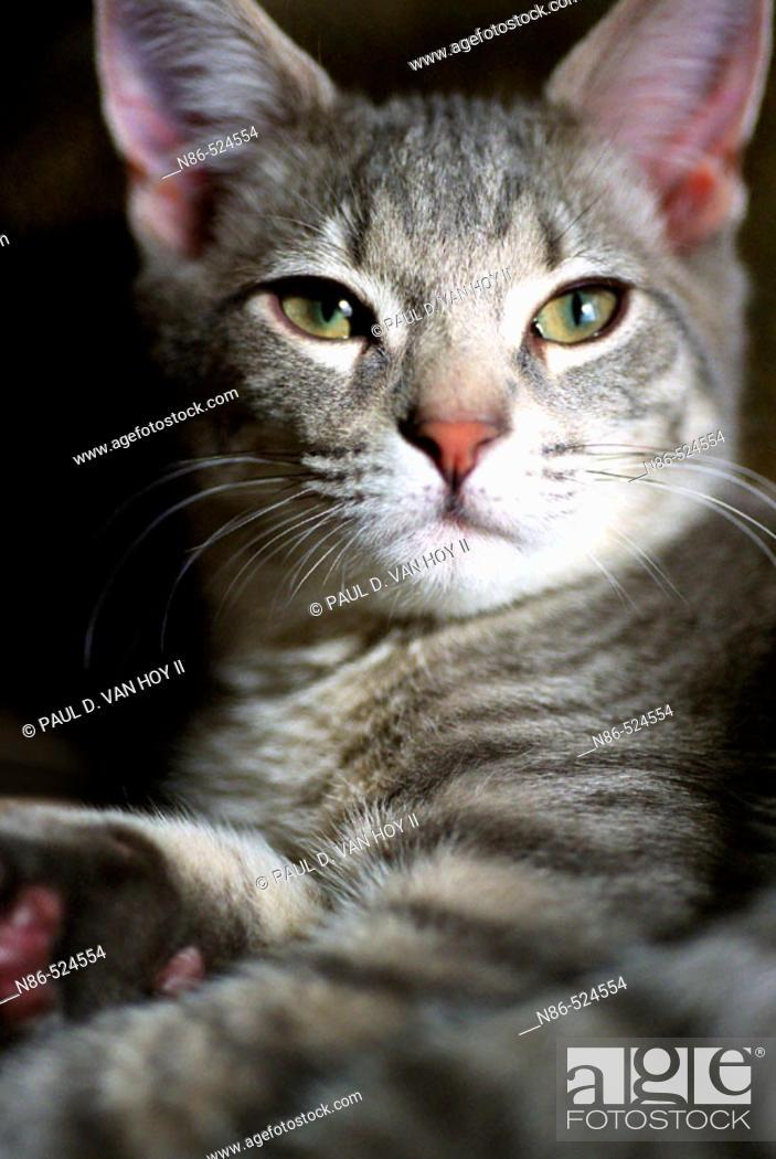 Stock Photo: Gray tabby cat.