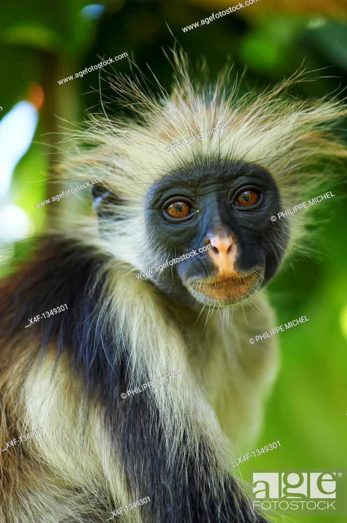 Stock Photo: Tanzania, Zanzibar island, Unguja, Zanzibar red colobus monkey Procolobus badius kirkii.