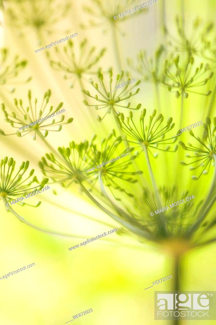 Stock Photo: Garden Dill Herb in Bloom.