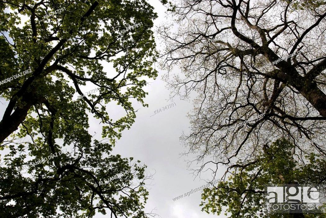 Stock Photo: Hundred-year-old  oaks, Natural Park 'Collados del Asón' , Cantabria, Spain.