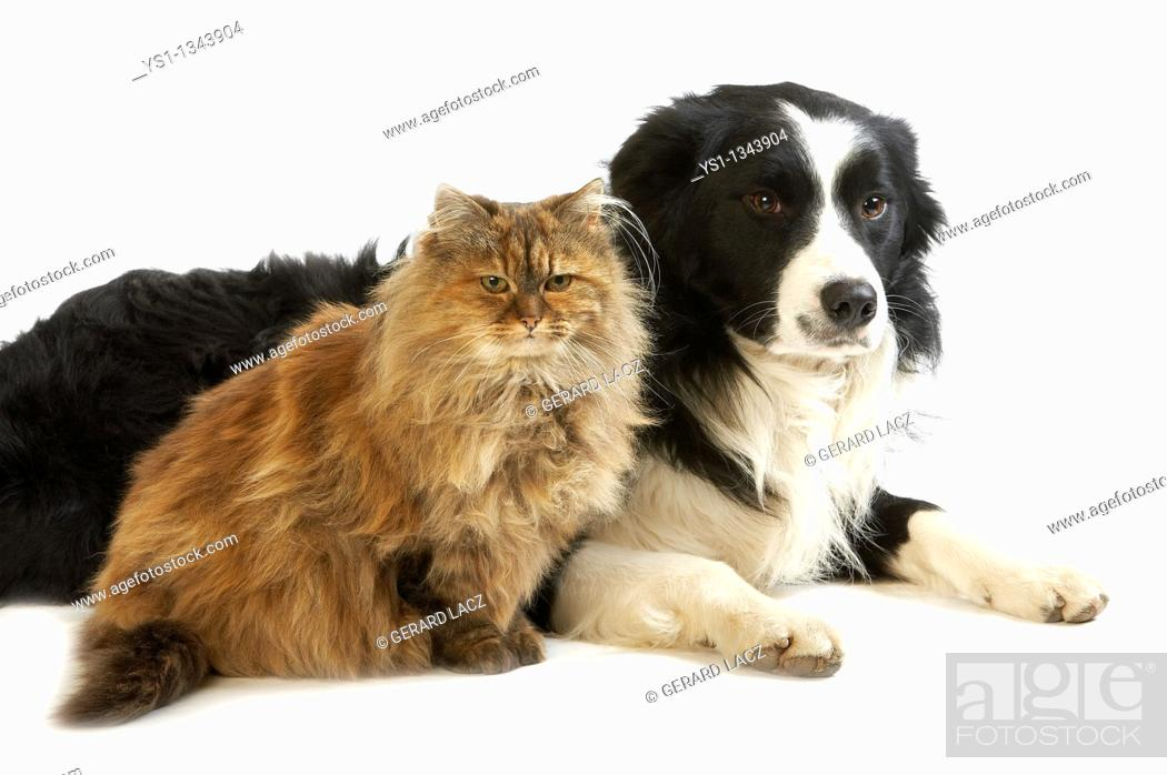 Stock Photo: MALE BORDER COLLIE DOG WITH TORTOISESHELL PERSIAN DOMESTIC CAT.