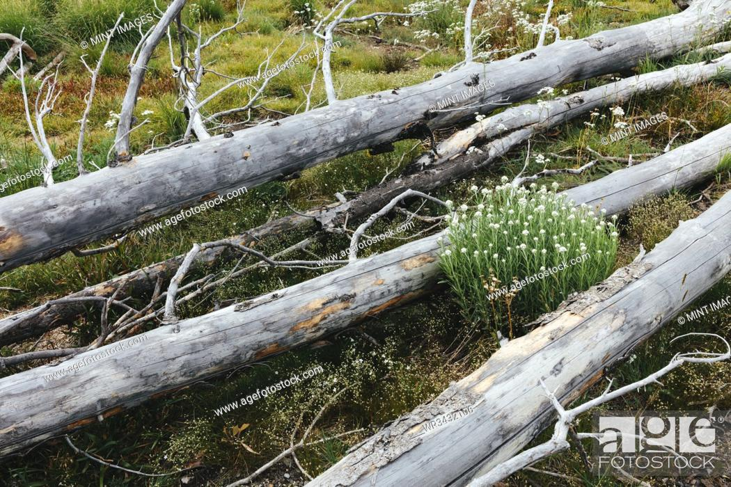 Stock Photo: A previously burnt subalpine forest rebounds in summer with lodgepole pine and a variety of wildflowers, yarrow and woodrush.