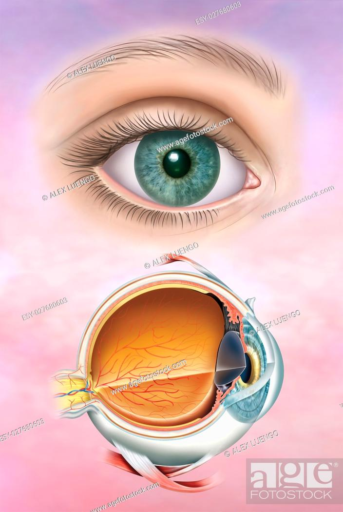Stock Photo: Illustration composed by the human eye and first, the anatomy of the eye with its structure and layers.