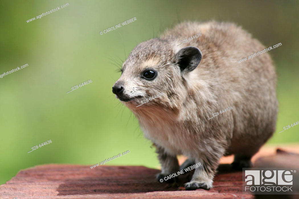 Stock Photo: Rock Dassie in Serengeti National Park, Tanzania.