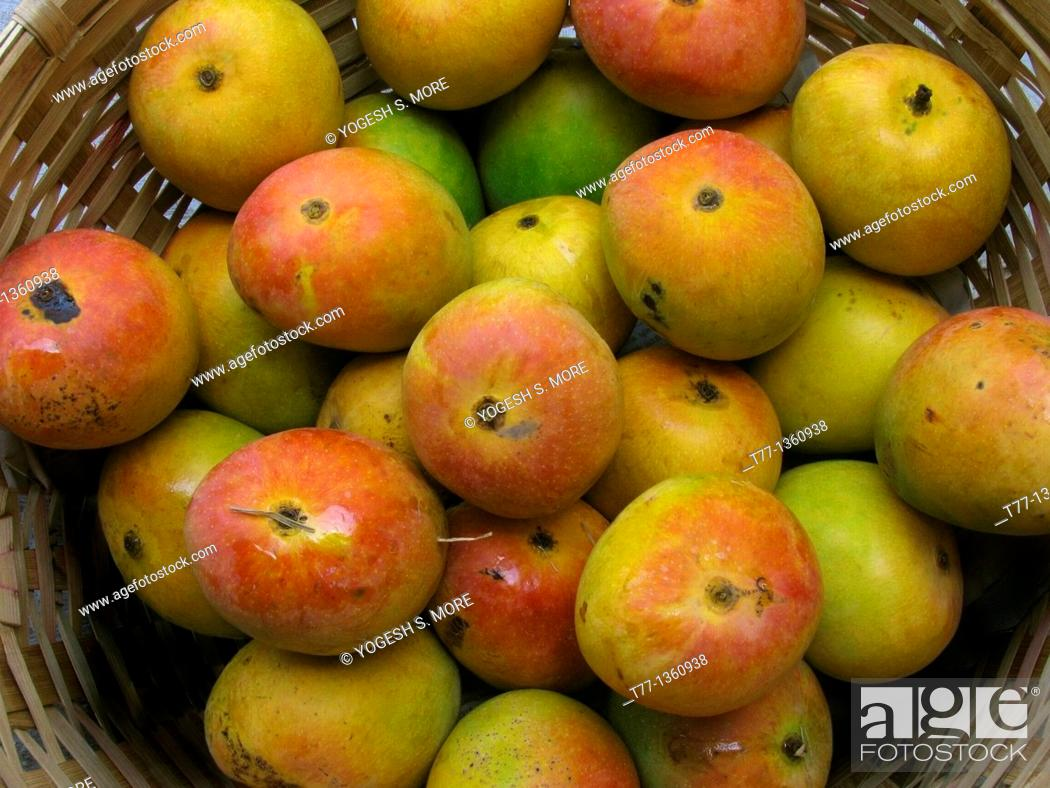 Stock Photo: Alphonso mangoes, Mangifera indica L , Anacardiaceae arranged in a box for packing.