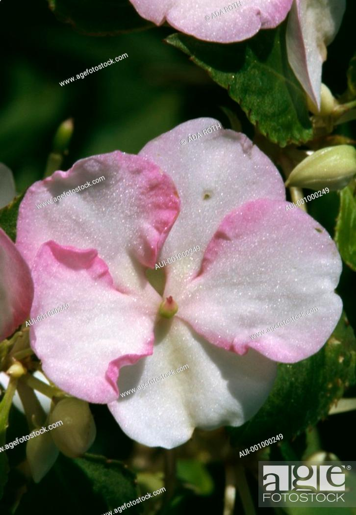 Stock Photo: Impatiens Walleriana - pale pink - timid - subtle.