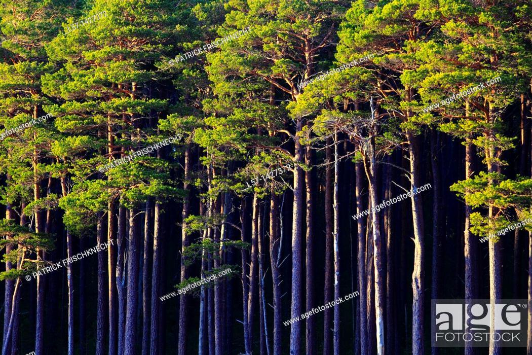 Stock Photo: Scots pine, Kiefer, Schottische Kiefer, Pinus sylvestris, Cairngorms NP, Scotland.