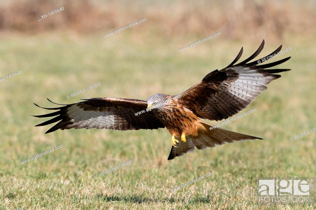 Stock Photo: Red Kite, Milvus milvus, in flight , about to scavenge food from the ground, Lower Saxony, Germany.
