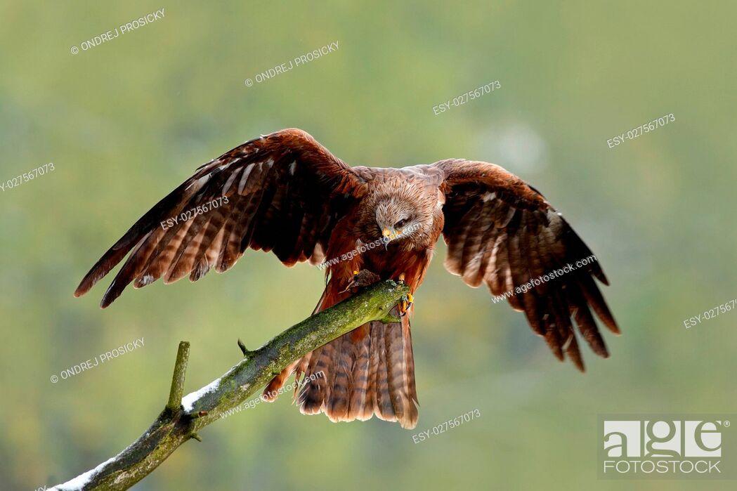 Imagen: Black Kite, Milvus migrans, brown bird sitting larch tree branch.