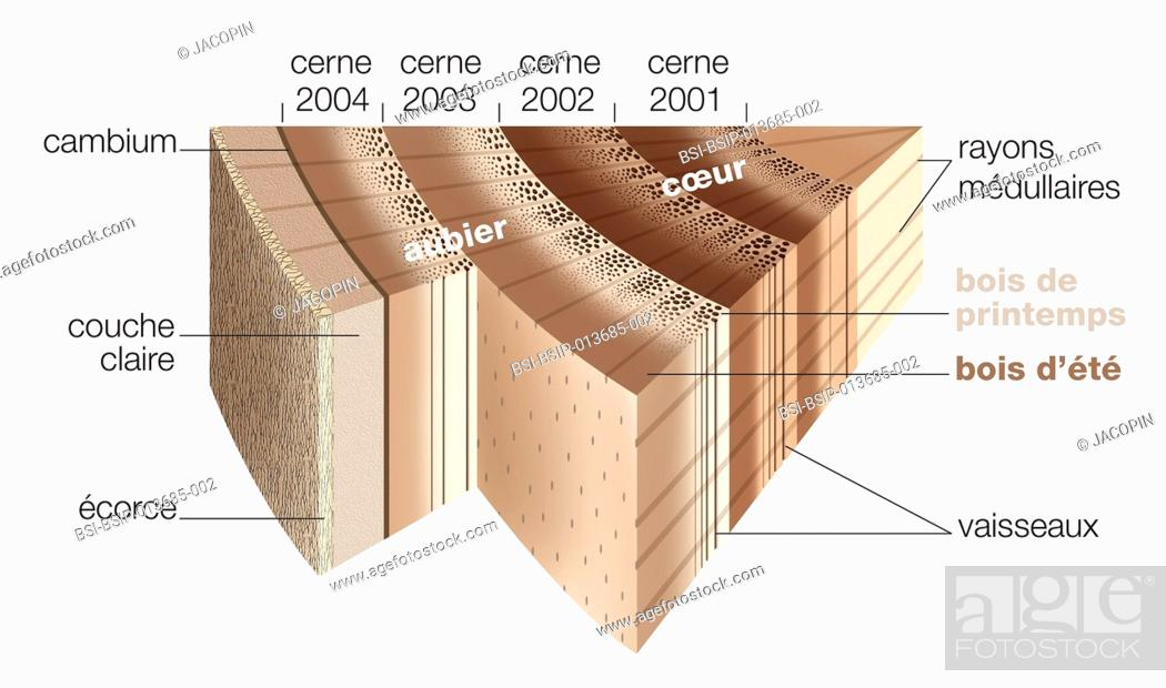 Cross Section Illustration Of Part Of A Tree Trunk Under