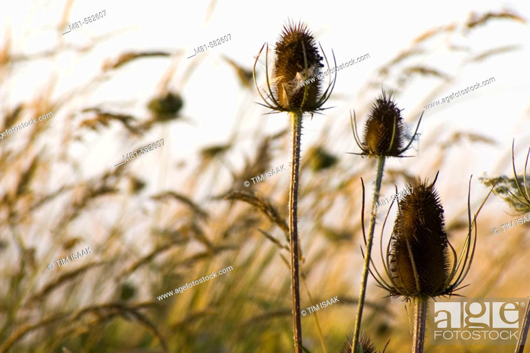 Stock Photo: Thistle heads and grasses beside farmland. Saanich, British Columbia, Canada, 20 August 2006.