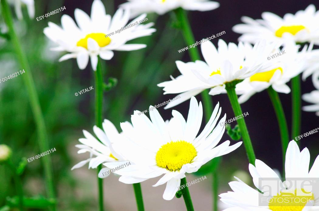 Stock Photo: chamomile.