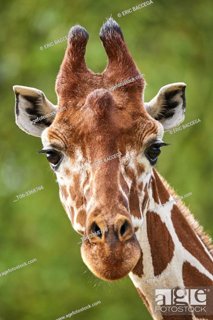 Stock Photo: Reticulated giraffe {Giraffa camelopardalis reticulata} head. Captive, Beauval Zoo Parc, France.