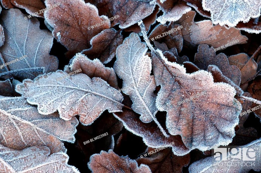 Stock Photo: sessile oak Quercus petraea, leaf in glazes frost, Germany.