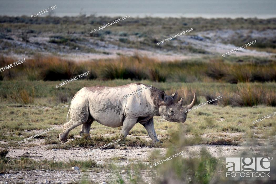 Stock Photo: Black rhinoceros in the savannah landscape of the Etosha National Park, taken on 05.03.2019. The Black Rhinoceros (Diceros bicornis) is an open savannah and the.