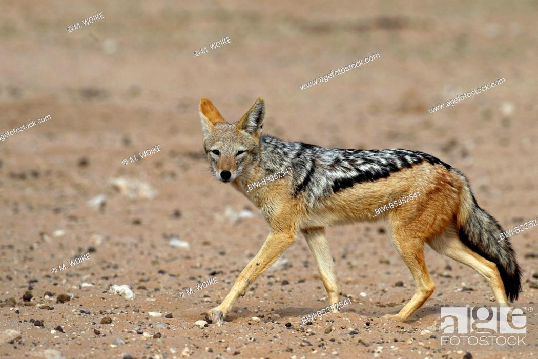 Stock Photo: black-backed jackal (Canis mesomelas), walking in the semi-desert, South Africa, Kgalagadi Transfrontier National Park.