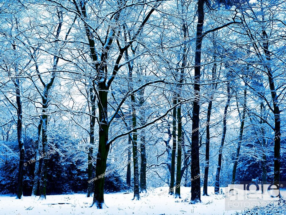 Stock Photo: winter trees silhouetted in snow, kent, england uk.