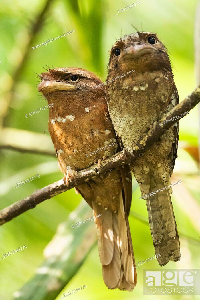 Stock Photo: Srilanka frogmouth, Batrachostomus moniliger, Western Ghats, India.