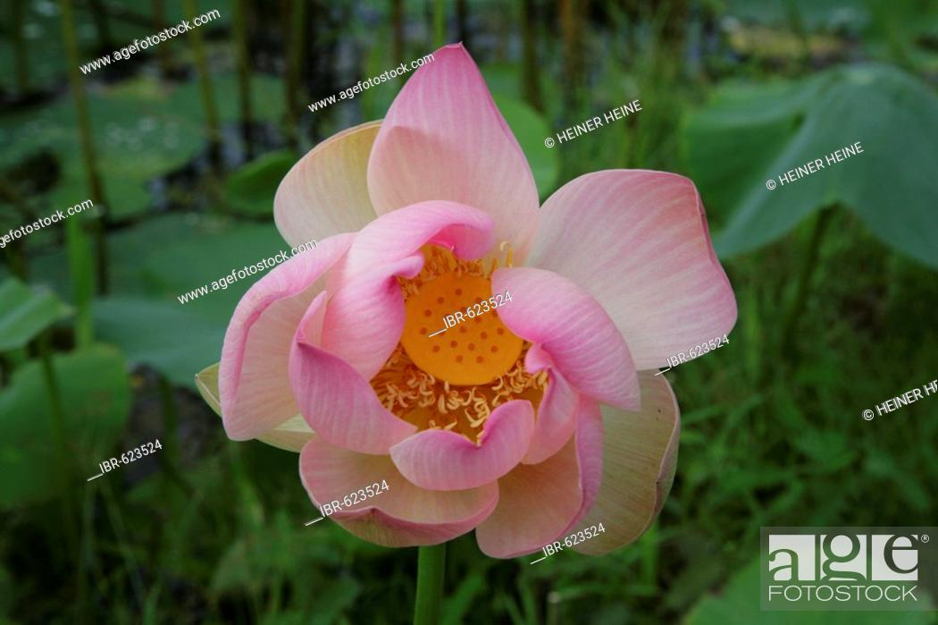 Indian Or Blue Lotus Nelumbo Nucifera Flower Species From The
