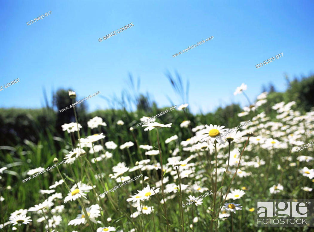 Stock Photo: Daisies in a field.