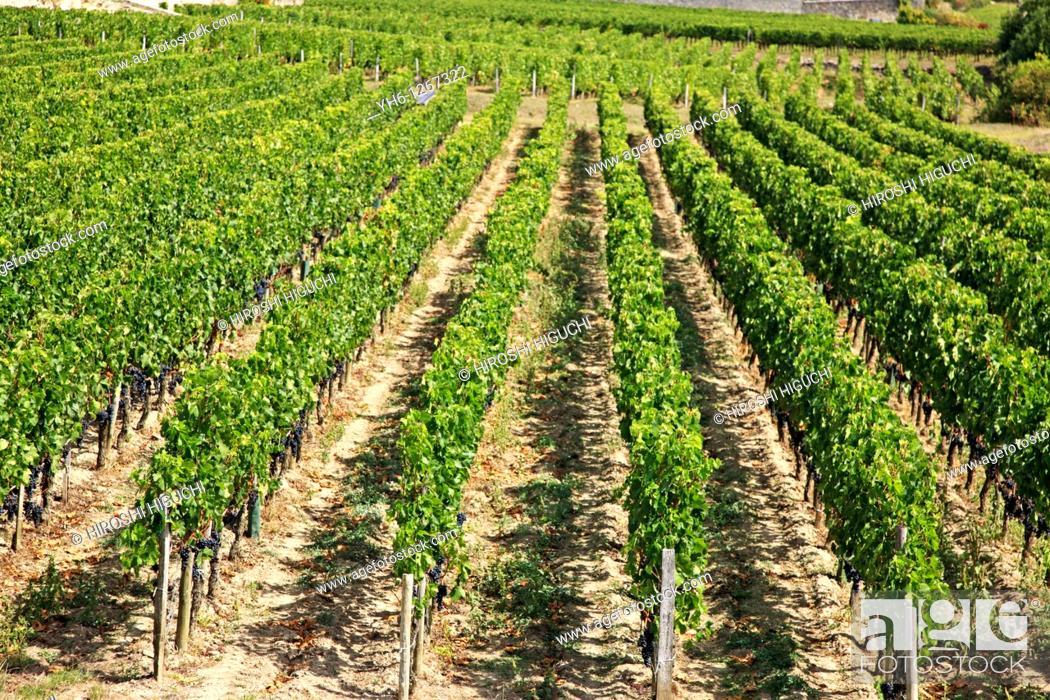Stock Photo: France, Gironde, Saint-Emilion, Bordeaux vineyards.