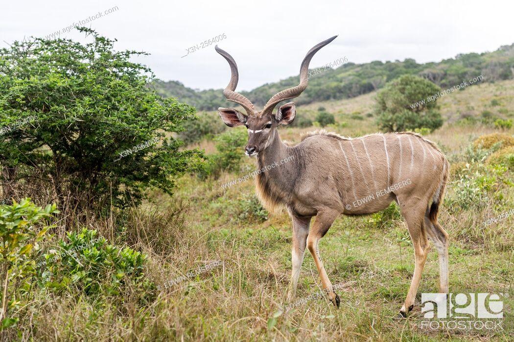 Imagen: Greater Kudu (Tragelaphus strepsiceros) wandering in Saint Lucia, Kwazulu-Natal, South Africa - iSimangaliso Wetland Park.