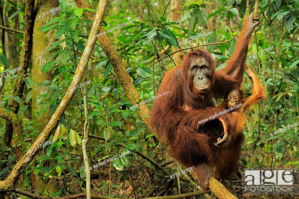 Stock Photo: Orang Utan Pongo pygmaeus, mother and baby, Tanjung Puting National Park, Province Kalimantan, Borneo, Indonesia.