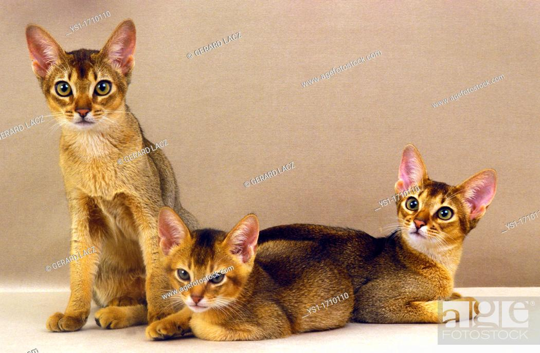 Stock Photo: Abyssinian Domestic Cat, Adult and Kitten.
