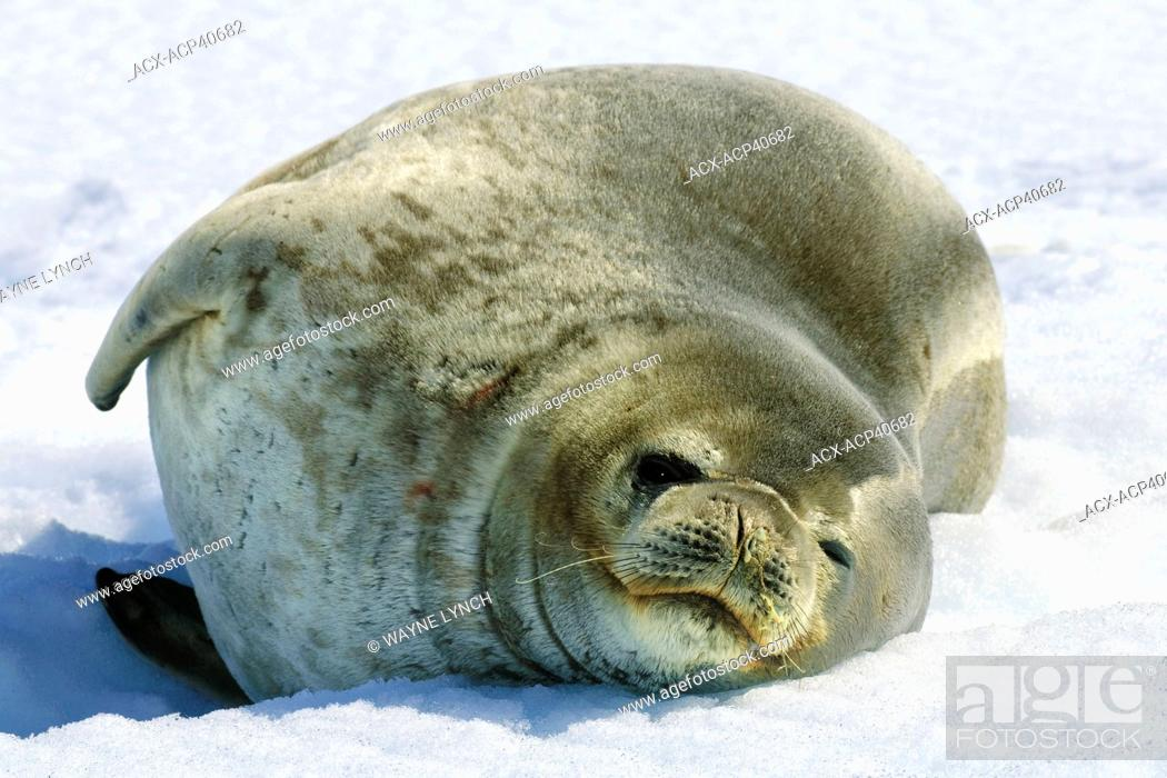 Stock Photo: Weddell Seal  Leptonychotes weddelli loafing on the pack ice, Antarctic Peninsula, Antarctica.