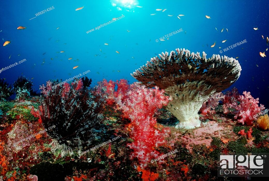 Imagen: Coloured Coral Reef, Similan Islands, Thailand.
