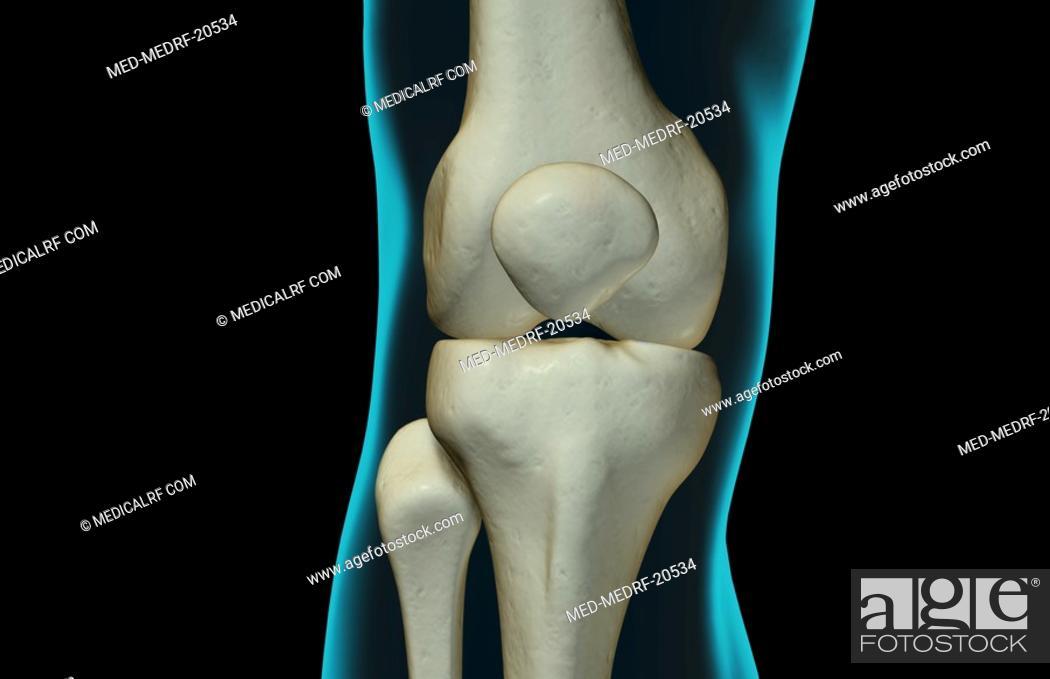 Stock Photo: The bones of the knee.