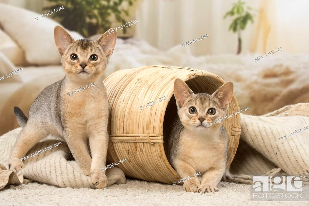 Stock Photo: Abyssinian kittens indoors in a basket.