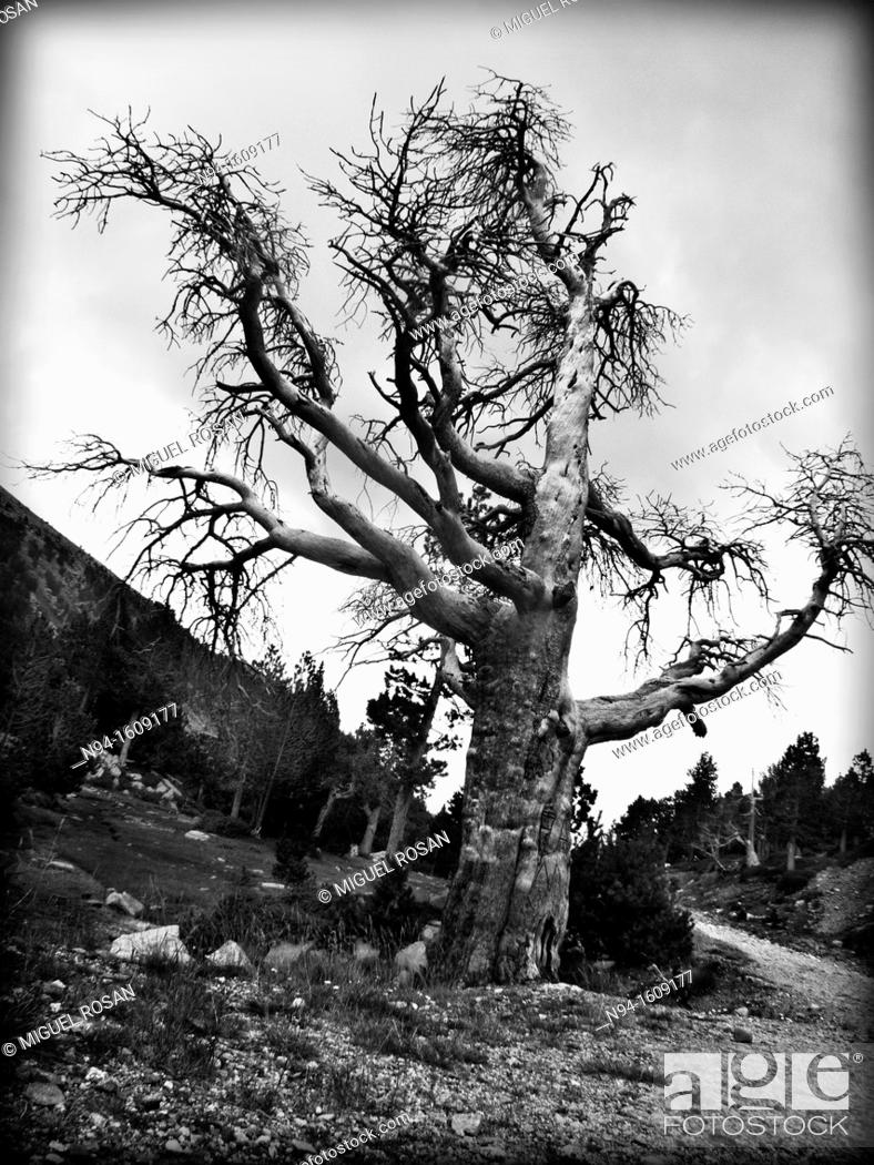 Stock Photo: Centenary of a forest tree of the term of La Seu D'Urgell.