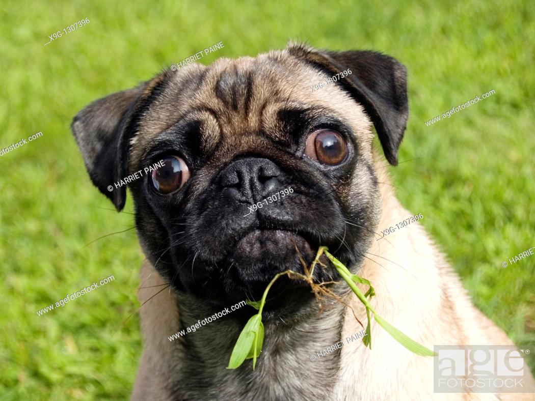 Stock Photo: Pug: breed of dog.