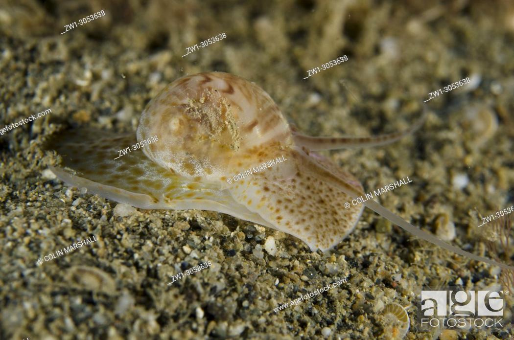 Imagen: Moon Snail (Nautica sp. ) on sand, Night dive, Dili Rock East dive site, Dili, East Timor (Timor Leste).