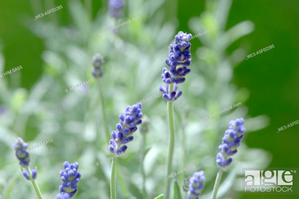 Stock Photo: Fresh lavender flowers.