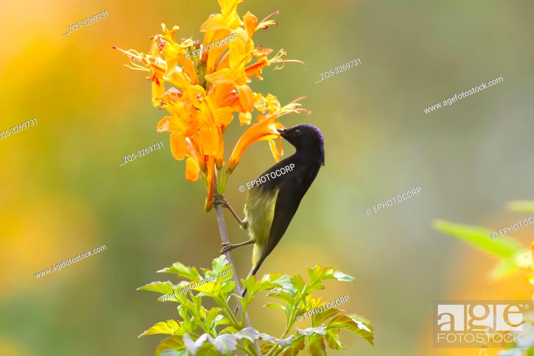 Stock Photo: Black throated sunbird, Aethopyga saturata, Sattal, Nainital, Uttarakhand, India.