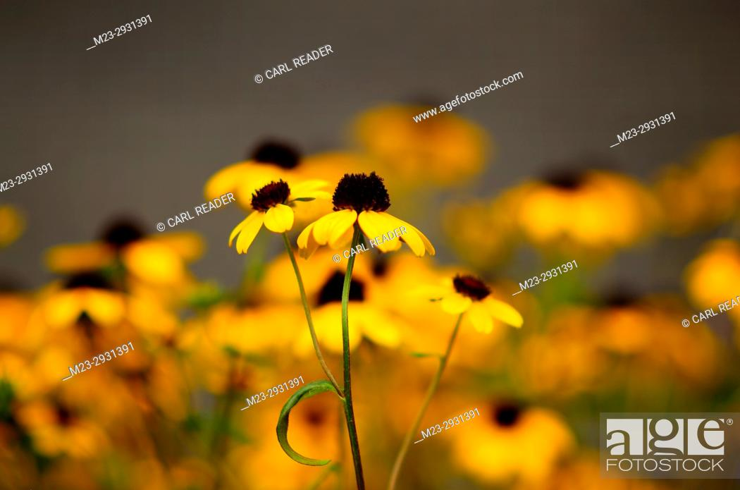 Stock Photo: Black-eyed susans centered in soft-focus, Pennsylvania, USA.