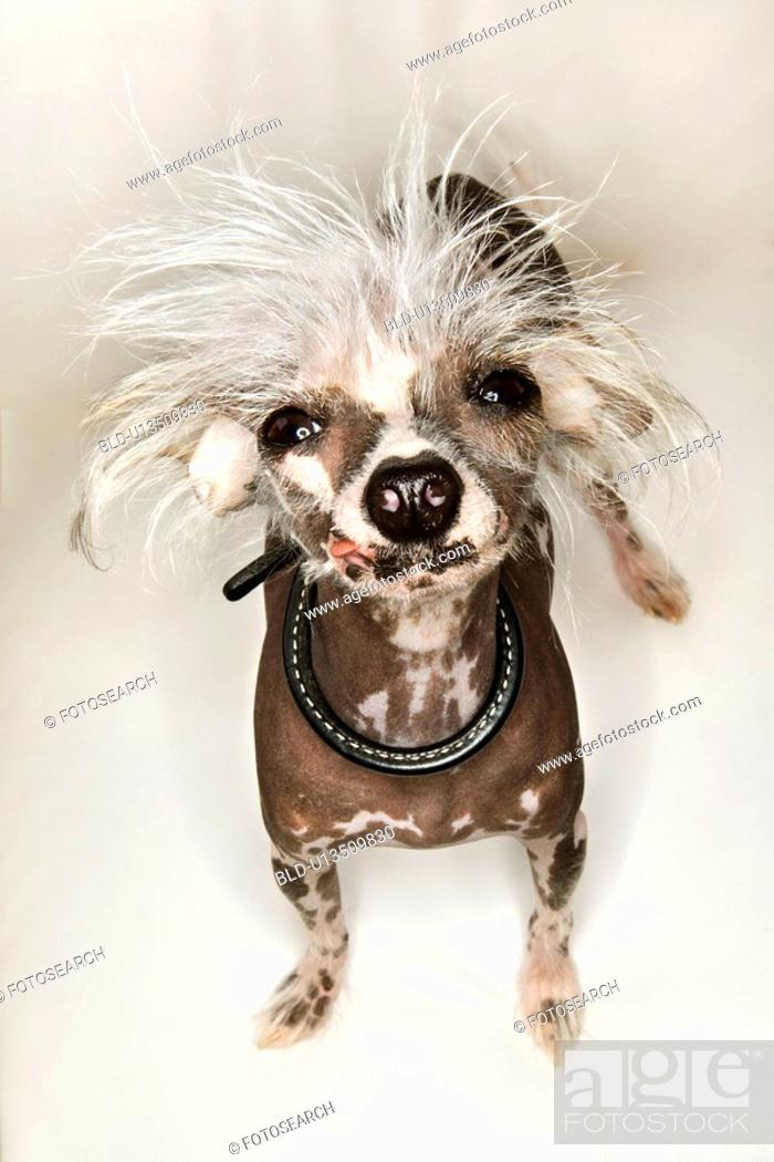 Stock Photo: Chinese Crested dog portrait.