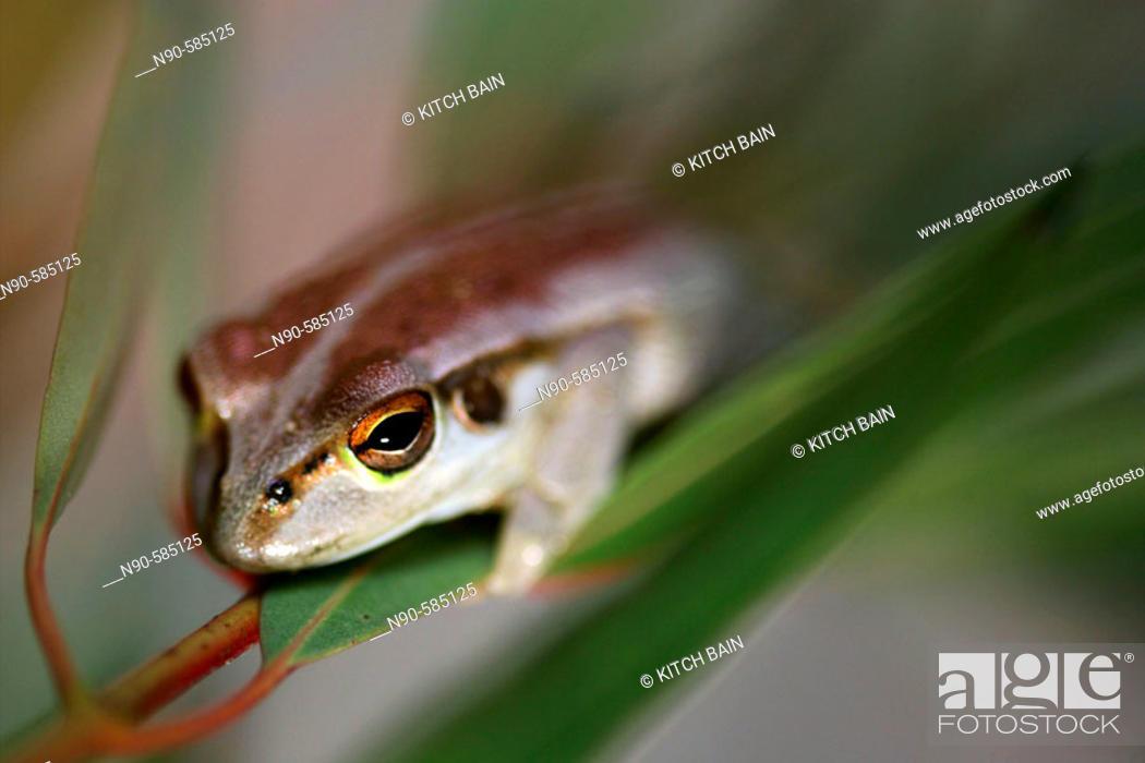 Stock Photo: Frog (Litoria moorei), Australia.