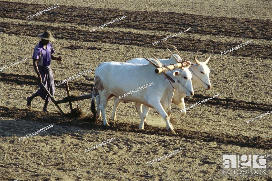 Stock Photo: Sri Lankan farmer plowing field with yoked zebu.