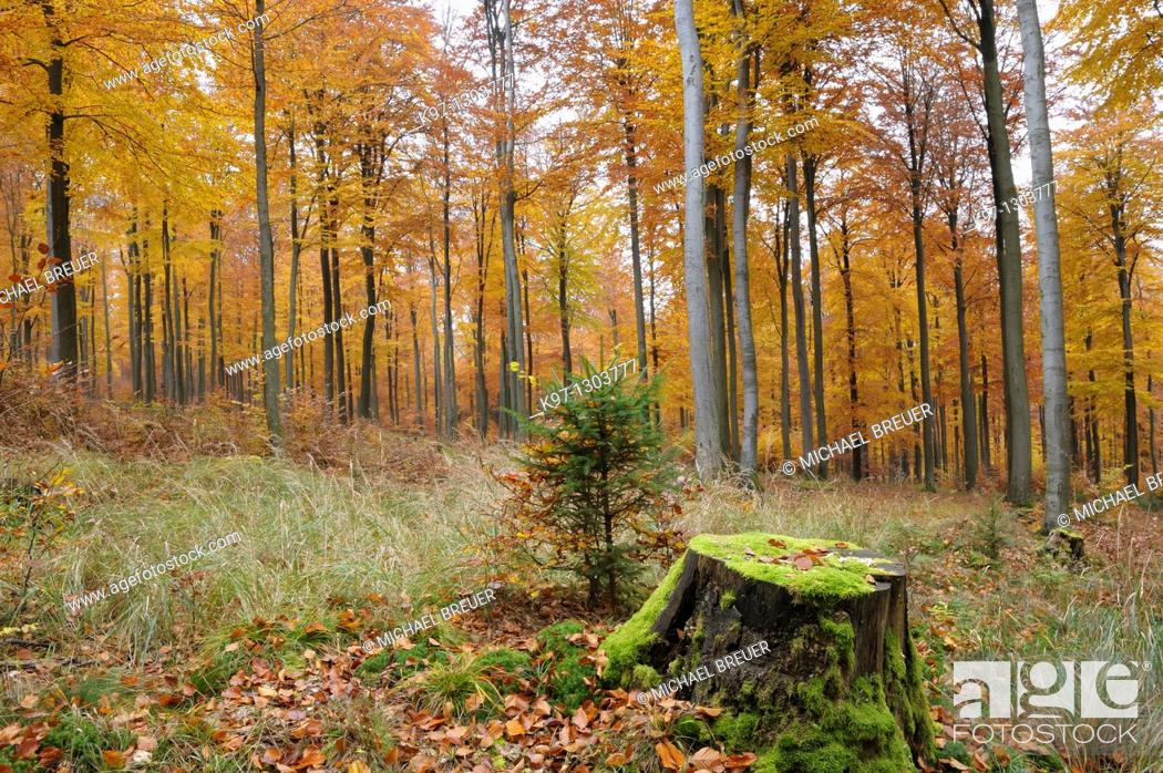 Stock Photo: Beech trees in autumn, Germany, Europe.