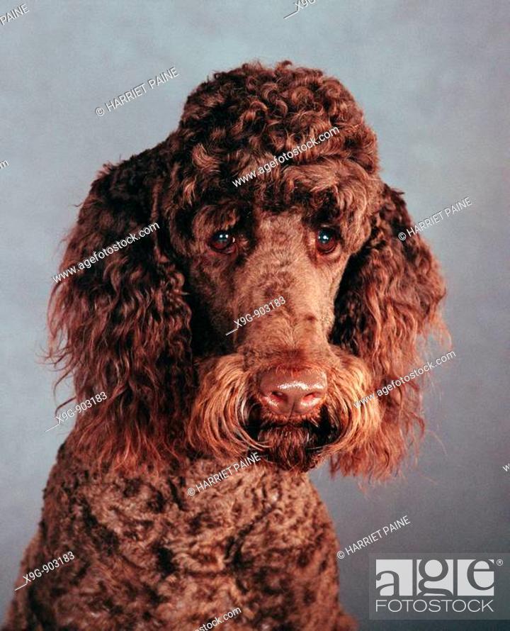Stock Photo: Chocolate Standard Poodle.